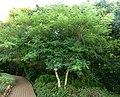 Acacia polyacantha, habitus, Walter Sisulu NBT.jpg