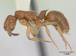 Acanthoponera minor castype06888 profile 1.jpg