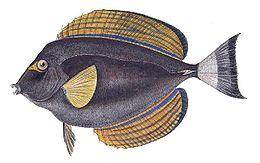 Acanthurus xanthopterus.jpg