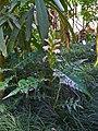 Acanthus montanus 001.JPG