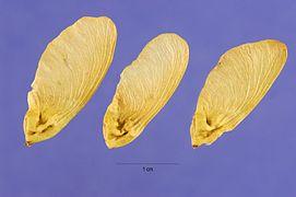 Acer glabrum seeds.jpg
