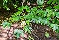 Acer saccharinum in Eastwoodhill Arboretum (6).jpg