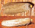 Achroia grisella (Fabricius, 1794)-12mm.jpg