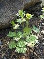 Aconitum variegatum 2017-05-06 9720.jpg
