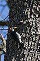 Acorn Woodpecker (Melanerpes formicivorus), Female.jpg