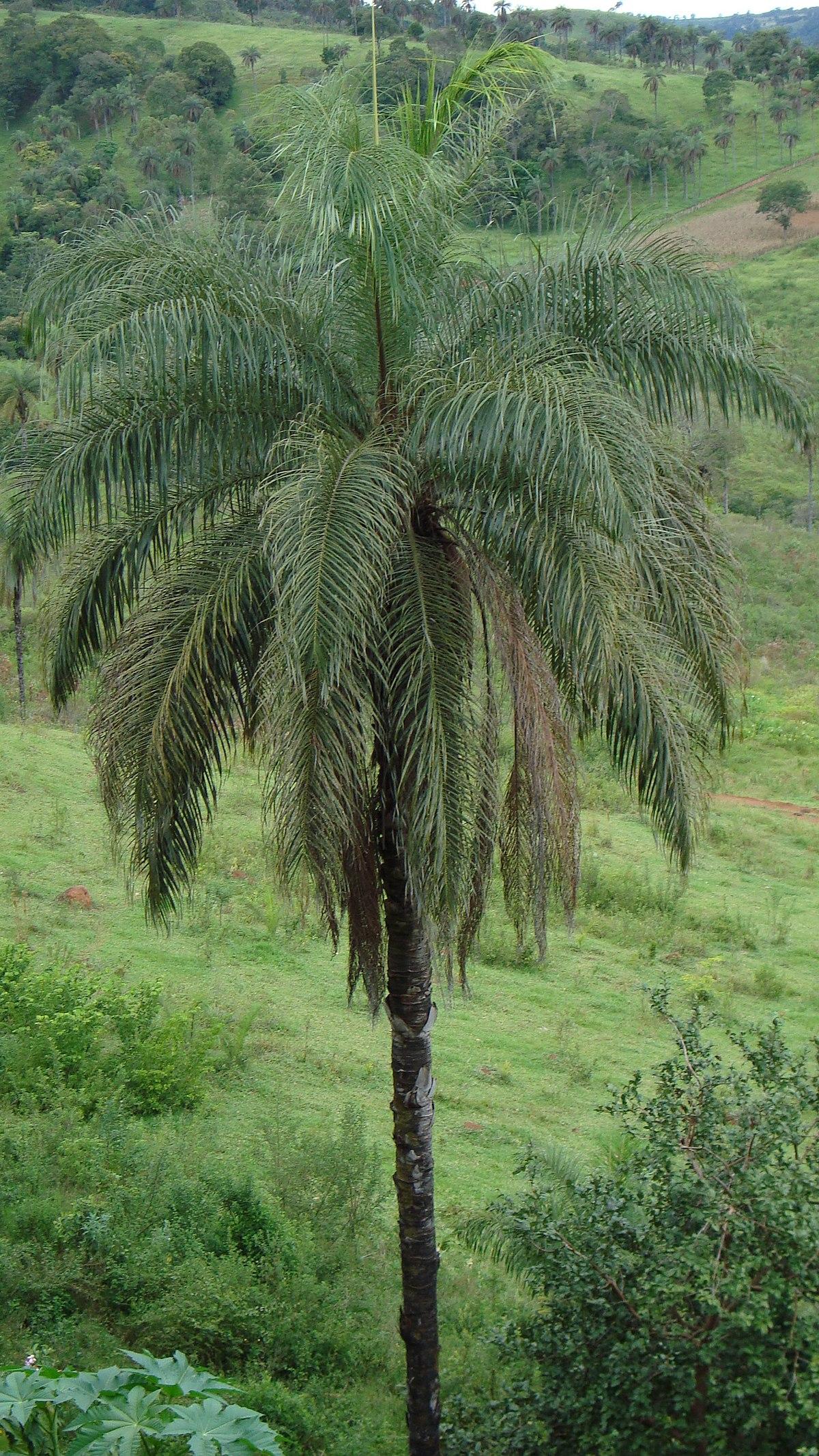 Acrocomia aculeata - Wikipedia