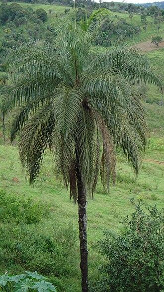 Acrocomia aculeata - Image: Acrocomia aculeata (sinonímia, Acrocomia sclerocarpa, Cocos aculeatus) Família, Arecáceas (sinonímia, Palmas), macaúba, macaúva, bocaiúva, macajuba, coco de espinho, coco baboso. panoramio