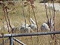 Acropoli di Tarquinia (VT) - Aironi e pecore - panoramio.jpg