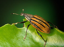 Adult citrus root weevil, Diaprepes abbreviatus.jpg