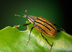 Citrus root weevil, an insect