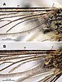 Aedes (10.3897-zookeys.671.12477) Figure 1.jpg