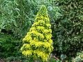 Aeonium undulatum flower head 4.jpg