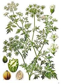 Aethusa cynapium - Köhler–s Medizinal-Pflanzen-154