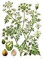 Aethusa cynapium - Köhler–s Medizinal-Pflanzen-154.jpg