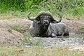 African Buffalo (Syncerus caffer) (16600040101).jpg