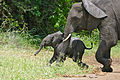 African Elephants (Loxodonta africana) calf with mother (16710874753).jpg