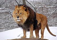 African Lion Panthera leo Male Pittsburgh 2800px adjusted.jpg