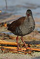 African Rail, Rallus caerulescens at Marievale Nature Reserve, Gauteng, South Africa (21062115859).jpg