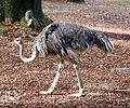 Afrikanischer Strauss Struthio camelus Tierpark Hellabrunn-2.jpg