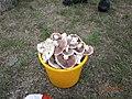 Agaricus mushroms - panoramio (1).jpg