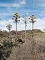 Agave americana in bloom, Torrey Pines State Reserve.jpg
