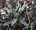Agave parviflora 2.jpg