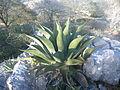 Agave species (5757388123).jpg