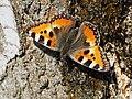 Aglais urticae - Small tortoiseshell - Крапивница (41618297321).jpg