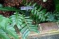 Aglaomorpha meyeniana - Longwood Gardens - DSC01172.JPG