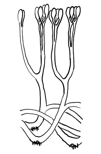 Polysporangiophyte - Reconstruction of Aglaophyton, illustrating bifurcating axes with terminal sporangia, and rhizoids.
