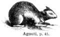 Agouti.png