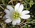 Akkerhoornbloem - Cerastium arvense.jpg