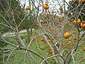Alabama Persimmon Tree.jpg