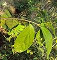 Alangium salviifolium leaves and flowers 14.JPG
