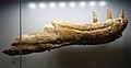 Albertosaurus dentary Royal Tyrrell.jpg