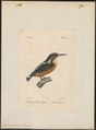 Alcedo ispida - 1842-1848 - Print - Iconographia Zoologica - Special Collections University of Amsterdam - UBA01 IZ16800187.tif