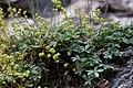 Alchemilla saxatilis - Alchémille des rochers -0798 - Flickr - Ragnhild & Neil Crawford.jpg