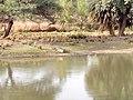 Aligator image - Van Vihar National Park.jpg