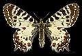 Allancastria cerisyi MHNT CUT 2013 3 7 Female Dos Turquie.jpg