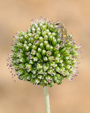 Allium dictyoprasum - Image: Allium dictyoprasum 1