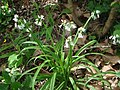 Allium triquetrum 2.JPG