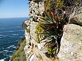 Aloe succotrina - Table Mountain - 4.JPG