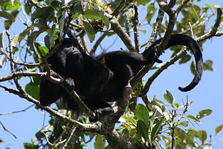 Mantled howler Species of New World monkey