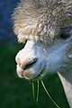 Alpaca head shot.jpg