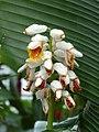 Alpinia nutans Muse - Flower 03.jpg