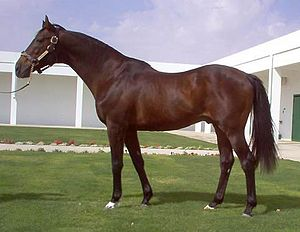 Alysheba - Alysheba at King Abdullah's farm in Saudi Arabia