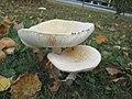 Amanita muscaria var. guessowii.jpg