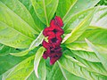 Amaranthus (12).jpg