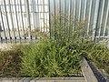 Amaranthus albus sl28.jpg