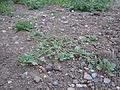 Amaranthus californicus (5133154510).jpg
